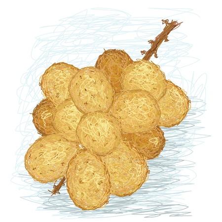 closeup illustration of a fresh lanzones fruit. Stock Vector - 14523501