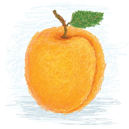 closeup illustration of a fresh apricot fruit. Vector