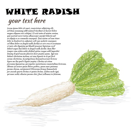 closeup illustration of fresh white radish vegetable. Vector