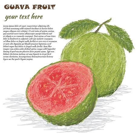guava: closeup illustration of fresh guava fruit isolated in white background
