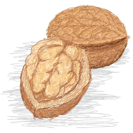 closeup illustration of cracked and whole walnut. Stock Vector - 15194600