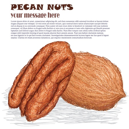 pecan: closeup illustration of pecan nuts isolated in white background. Illustration