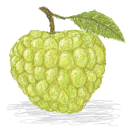 closeup illustration of fresh custard apple isolated in white background. Illustration