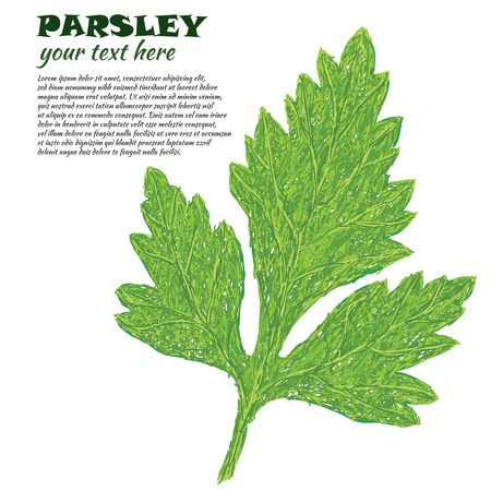 closeup illustration of parsley leaf isolated in white background. Stock Vector - 14989563