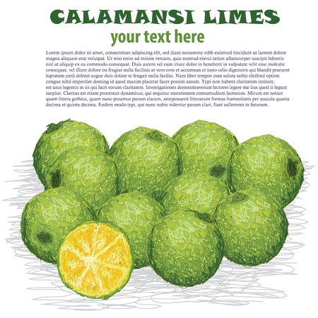 sour: closeup illustration of fresh calamansi limes isolated in white background