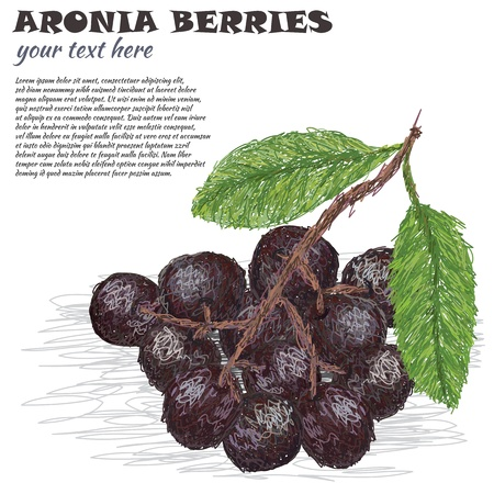 ashberry: closeup illustration of fresh aronia berries or chokeberries isolated in white background