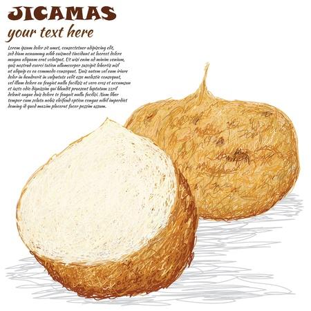 tuberous: closeup illustration of jicamas root isolated if white background