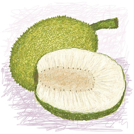 illustration of whole and half sliced breadfruit rough-skinned variety with scientific name Artocarpus altilis x mariannensis originated in Federal State of Micronesia, locally known as Lipet Stock Vector - 17312877