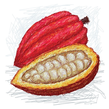 cocoa fruit: closeup illustration whole and opened cacao fruit with scientific name Theobroma cacao