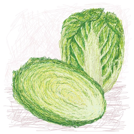 napa: illustration of fresh whole and cross section napa cabbage, chinese cabbage    Illustration