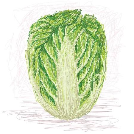 napa: illustration of fresh whole napa cabbage, chinese cabbage