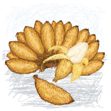 musa: illustration of bunch, peeled and single small bananas with scientific name musa acuminata