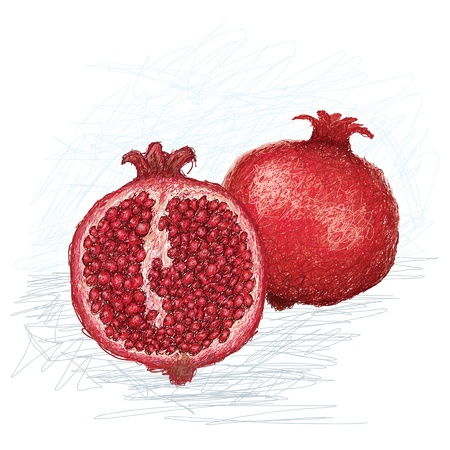 punica granatum: closeup illustration of ripe whole and cross section of pomegranate fruit with scientific name - Punica granatum, isolated in white background    Illustration