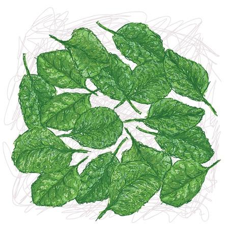 spinat: Darstellung Frische Spinatbl�tter in wei�em Hintergrund
