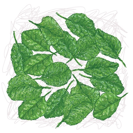 illustration of fresh spinach leaves isolated in white background    Vector
