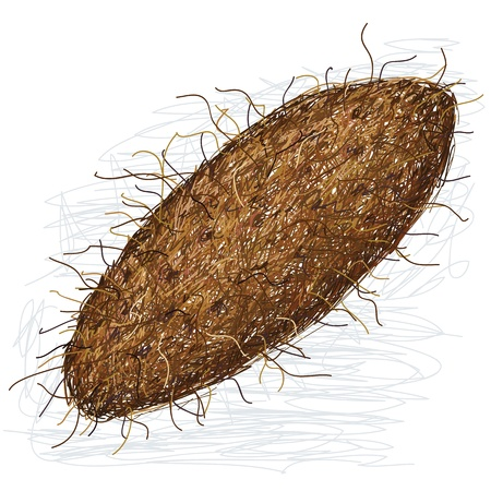 tuberous: illustration of yam crops, tuber vegetable isolated in white background.
