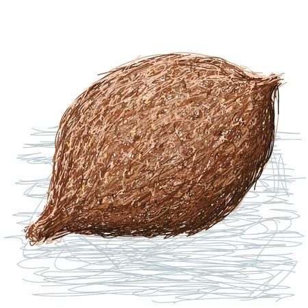 false: illustration of whole false durian nut fruit. scientific name Pangium edule.   Illustration
