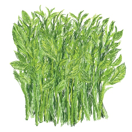 illustration of bunch of fresh healthy sweet leaf bush, isolated in white background. scientific name Sauropus androgynus.   Vector