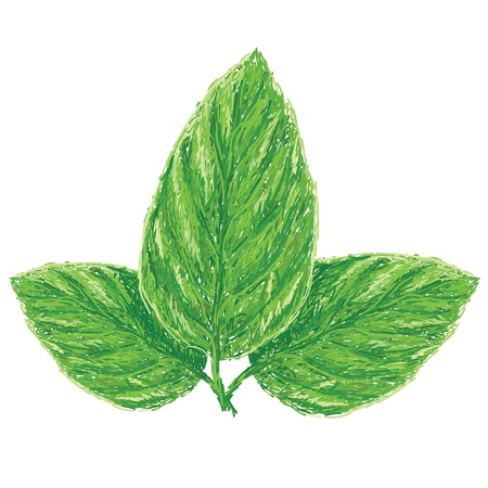 basil leaf: unique style illustration of fresh basil leaves, ocimum basilicum isolated in white background    Illustration