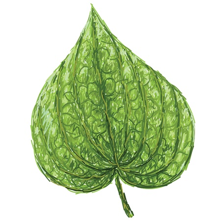 piper: unique style illustration of betel or piper betle heart-shaped leaf isolated in white background