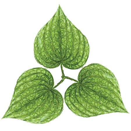 addictive: unique style illustration of betel or piper betle heart-shaped leaves isolated in white background    Illustration