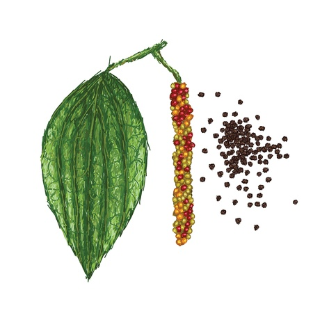 piper: unique style illustration of black pepper or piper nigrum leaf, fruits, dried peppercorn isolated in white background