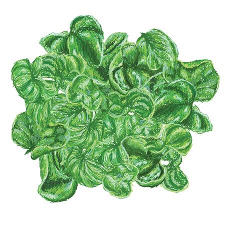 spinat: einzigartigen Stil Illustration der brasilianischen Spinat auch als sissoo Spinat oder Salat samba bekannt