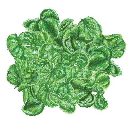 spinach salad: unique style illustration of Brazilian spinach also known as sissoo spinach or samba lettuce