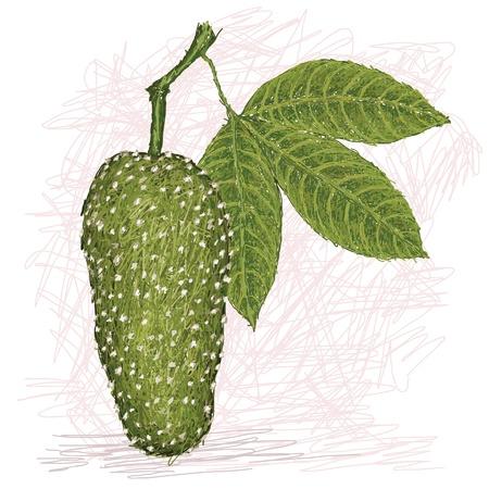exotic fruit: illustration of of garlic tree fruit or garlic pear scientific name Crataeva speciosa