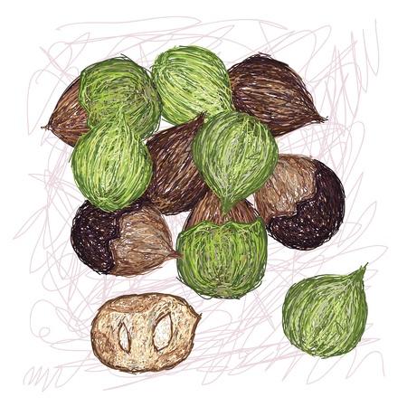unique style illustration of Island walnut  Scientific name Cordia subcordata isolated in white background Stock Vector - 22026967