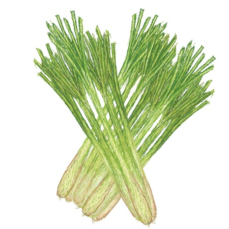 unique style illustration of lemon grass isolated in white background    Illustration