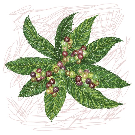 local: unique style illustration of local berries  Scientific name Campnosperma brevipetiolata isolated in white background