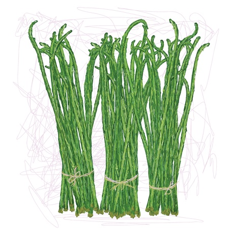 unique style illustration of bunch of long beans, string beans  Scientific name Vigna unguiculata isolated in white background    Vector