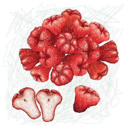 exotic fruit: unique style illustration of rose apple  Scientific name Syzygium samarangense, isolated in white background