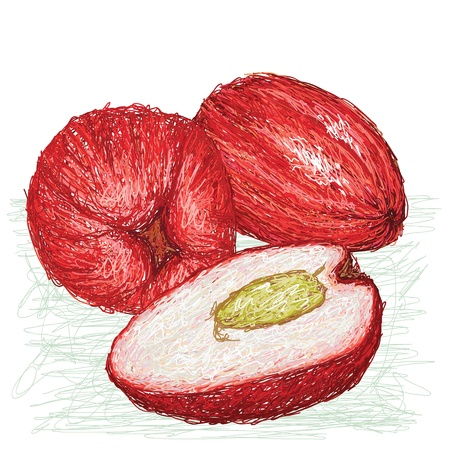 merah: unique style illustration of exotic fruit malay apple  Scientific name syzygium malaccense isolated in white background