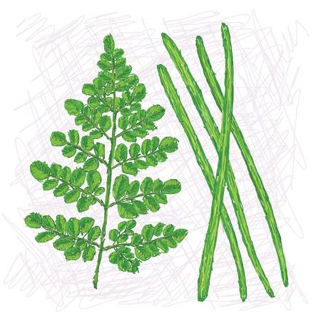 oleifera: ejemplo del estilo �nico de hojas de moringa ole�fera y muslo, vainas aisladas en fondo blanco