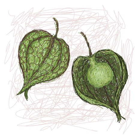 winter cherry: unique style illustration of wild cape gooseberry  Scientific name Physalis angulata isolated in white background