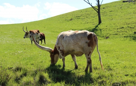 longhorn cattle: Longhorn Cattle