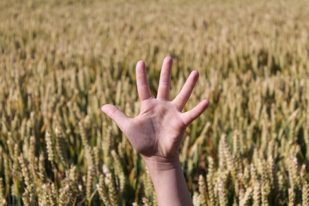raised hand: Raised hand in a corn field