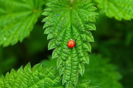 stinging  nettle: Contrasting nature. A ladybird on a stinging nettle