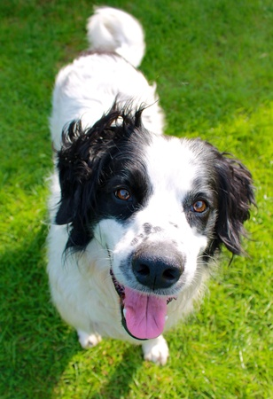 Happy smiling collie spaniel cross breed