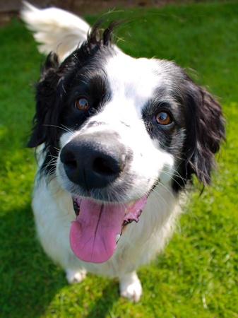 nose: Happy smiling collie spaniel cross breed