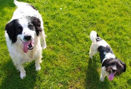 white dog: Two dogs with the same patches but different breeds and sizes Stock Photo