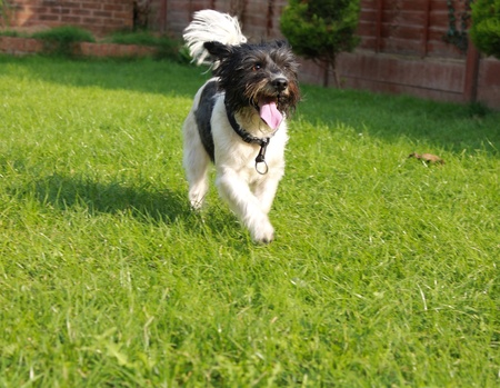 Small terrier cross breed dog in a yard