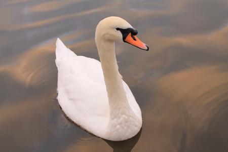 solo: Solo swan