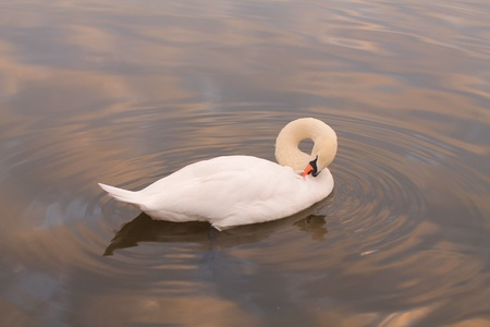 reflective: Solo swan
