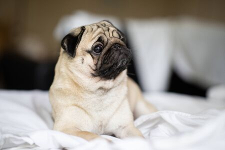 cute dog pug breed have a question and making funny face feeling so happiness and fun,Selective focus