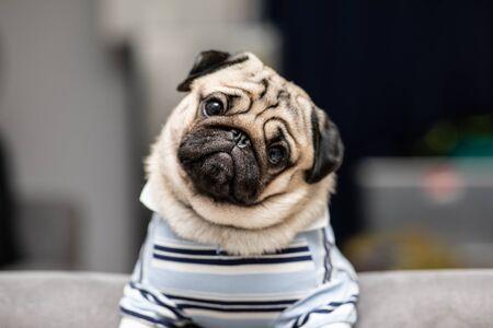 La linda raza de perro pug tiene una pregunta y hace que la cara divertida se sienta tan feliz y divertida, enfoque selectivo