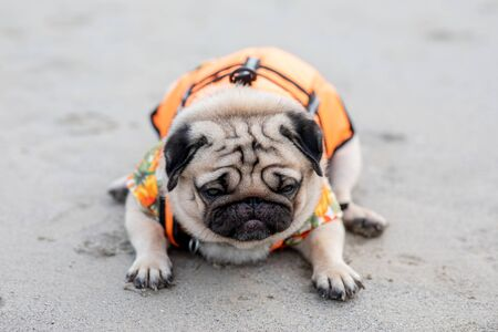 Happy dog pug breed wearing life jacket and lying on beach feeling so happiness and fun vacations on the beach,Dog vacations Concept Stock fotó - 138466586