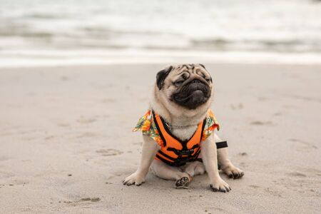 Happy dog pug breed wearing life jacket and sitting on beach feeling so happiness and fun vacations on the beach,Dog vacations Concept Stock fotó - 138466472
